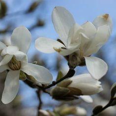 Japaninmagnolia 'Vanha Rouva' on keväällä kukkivista magnolioista talvenkestävin.