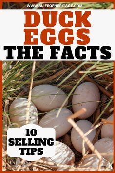 Duck egg facts and 10 tips to selling them. Backyard Ducks, Chickens Backyard, Backyard Farming, Backyard Birds, Raising Ducks, Raising Chickens, Building A Chicken Coop, Diy Chicken Coop, Duck Enclosure