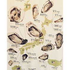 #oysters #infographic