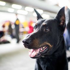 """Gideon, Beauceron (6 y/o), 139th Westminster Kennel Club Dog Show, New York, NY • """"He's the most winningest Beauceron in breed history."""""""