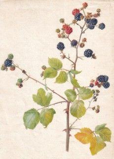 Blackberry bramble (Rubus fruticosus). Sherborne
