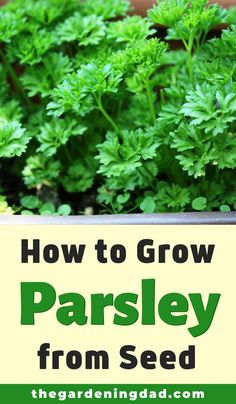 How to Grow Parsley QUICK Tips) – Growing parsley Growing parsley, Growing herbs at home, Planti Growing Herbs At Home, Growing Vegetables At Home, Growing Plants Indoors, Growing Tomatoes, Parsley Growing, Parsley Plant, Vegetable Garden Planner, Growing Seeds, Edible Garden