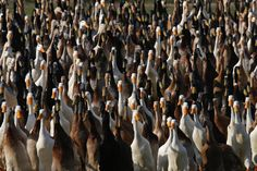 South Africa's Vergenoegd vineyard in Stellenbosch keeps a flock of over 1,000 Indian Runner ducks to help combat tiny white dune snails that would otherwise destroy the budding vines.