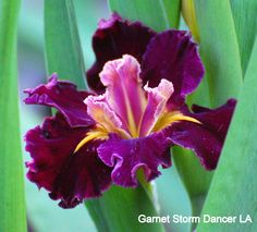 Louisiana Iris (Iris 'Garnet Storm Dancer') in the Irises Database (All Things Plants)