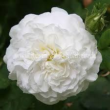 Image result for Mme legras de st germain rose