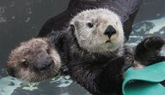 Image result for BABY SEA OTTERS