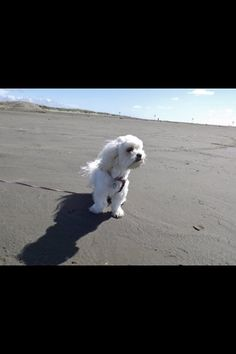Ellie, my Lhasa Apso at Ocean Shores, Wa. She loved it!!!