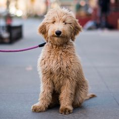 """Henrietta, Goldendoodle (5 m/o), 12th & Hudson St., New York, NY • """"She eats toilet paper and tries to get into the bathtub with me."""""""
