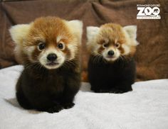 Red panda cubs, via zooborns