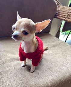 #chihuahua #chiwawa Check out other chihuahua clothes, click our link to visit now. Chihuahua Clothes, Cute Chihuahua, Teacup Chihuahua, Chihuahua Puppies, Chihuahuas, Cute Little Animals, Cute Funny Animals, Little Dogs, Tiny Puppies