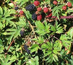 3 Triple Crown Thornless Blackberry Plants-Produce Sweet Berries-Zones: In inch plugs Mulberry Bush, Mulberry Tree, Thornless Blackberries, Blackberry Plants, Amaryllis Bulbs, Plant Projects, Grow Kit, Wild Edibles