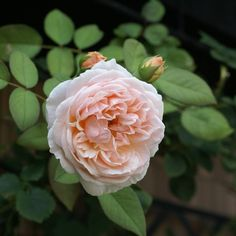 """""""Evelyn"""" has a light fragrance in summer. #evelyn #rose #roses #rosegarden #garden #mygarden #myrosegarden #flower #flowerlover #flowerstagram #flowers #flowerlove #instaflowers #flowerstagram #petal #petals #beautiful #plants #blossom #floral #florals"""