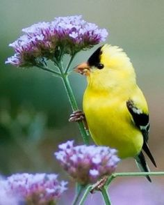 Goldfinch on verbena Beautiful….the goldfinch is so incredibly light that it can sit on the slender stems and eat eat off top! They love dried up purple coneflower seeds, too. Pretty Birds, Love Birds, Beautiful Birds, Animals Beautiful, Cute Animals, Pretty Flowers, Exotic Birds, Colorful Birds, Kinds Of Birds