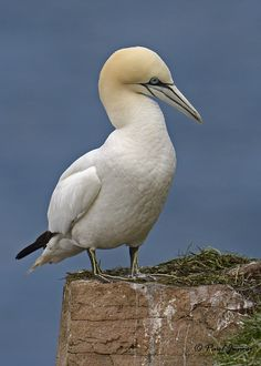 Photo Northern Gannet by Paul Janosi on 500px