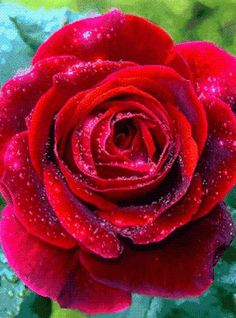 This Rose Is so beautiful love the live movement. ..