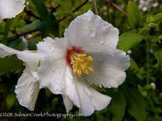 Philadelphus x lemoinei 'Belle Etoile': deciduous shrub with the fragrance of gardenia with a touch of orange.