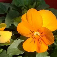 50+ Pansy Swiss Giant Coronation Gold Flower Seeds