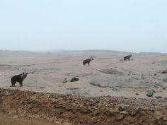 Amazing sightings of brown hyaena on Namibia's Skeleton Coast around the Hoanib Wilderness, Skeleton, Safari, Coast, Tours, Explore, Brown, Amazing, Pictures