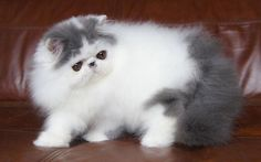 Alfenloch Himalayan and Persian kittens, Ontario, Canada - 2012 Himalayan kittens and Persian kittens in chocolate, lilac and traditional colors - Alfenloch Himalayan-Persians, Breeders, Ontario, Canada - Himalayan Persian kittens, Ontario, Canada