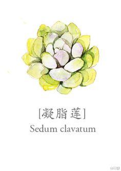 sedum clavatum