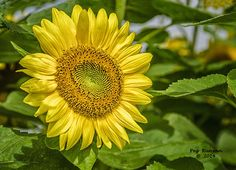 A sunflower grows in northern Michigan.
