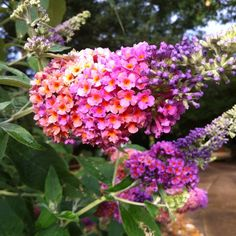 Bicolor butterfly bush. Attracts butterflies and hummingbirds