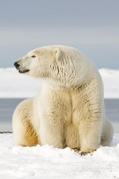 Polar Bear Sits Along Barrier Island, Bernard Spit, ANWR, Alaska, USA Photographic Print by Steve Kazlowski at AllPosters.com