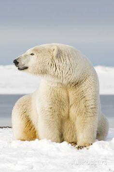 Polar Bear Sits Along Barrier Island, Bernard Spit, ANWR, Alaska, USA Photographic Print by Steve Kazlowski at AllPosters.com