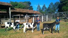 As primeiras doses foram distribuídas na semana passada em Goiás, um dos Estados que mais produz leite no país, pelos técnicos da Associação Brasileira dos Criadores de Girolando.