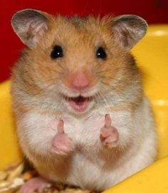 Easy Science for Kids All About Hamsters - Cute Little Animals. Learn more about Hamsters with our Online Science Facts for Kids on Hamsters! Cute Little Animals, Cute Funny Animals, Funny Cute, Hilarious, So Cute, Funniest Animals, Funny Happy, Top Funny, Smiling Animals