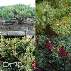 JAPANESE STONE PINE (Pinus Pumila) 10+ seeds Pre-Treatment - Required Hardiness zones - 3 - 7 Height - 6'-20' / 1.8m - 6m Spread - 30' / 9.0m Plant type - Shrub Vegetation type - Evergreen Exposure - Full Sun Soil PH - Acidic, Neutral Soil type - Loam, Sand, Well Drained Water requirements - Average Water Landscape uses - Container, Feature Plant, Foundation, Mixed Border, Rock Garden / Wall, Topiary / Bonsai / Espalier Germination rate - 90% Leaf / Flower color - Green / -- Plant growth…