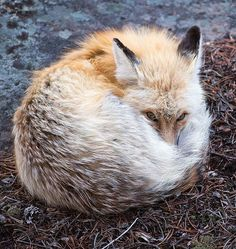 Curled Fox by Max Waugh--The Beauty of Wildlife Animals And Pets, Baby Animals, Cute Animals, Strange Animals, Beautiful Creatures, Animals Beautiful, Fantastic Fox, Amazing, Cute Fox