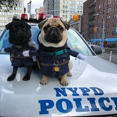 Stop! Police! Photo by @basilandsigmundpugs Want to be featured on our Instagram? Tag your photos with #thepugdiary for your chance to be featured.