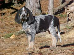 blue tick hound. and i will call him charlie!