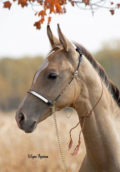 Elegant, exotic and rare, this horse's sleek, athletic body is often compared to a cheetah or greyhound. Learn about the Akhal-Teke horse br...