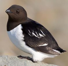 The Little Auk Bird. Check out our review of Laura Ingalls Wilder's The Long Winter here: http://chaptersandscenes.wordpress.com/2014/09/23/brigette-reviews-the-long-winter/