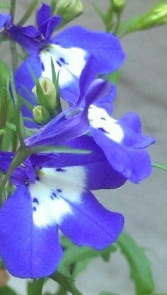 Close up lebellia