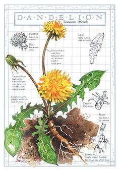 The humble Dandelion - lovely sketch [Dandelion, Taraxacum officinale, Asteraceae] Nature Sketch, Nature Drawing, Garden Journal, Nature Journal, Journal Art, Journal Prompts, Bullet Journal, Watercolor Journal, Watercolor Flowers