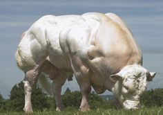 Cattle of Europe: The Belgian Blue (Also known as the: do you even lift? Farm Animals, Animals And Pets, Cute Animals, Belgian Blue Cattle, Super Cow, Bull Cow, Gado, Bullen, Beef Cattle