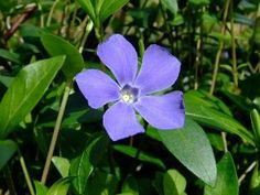 "Myrtle 48 Plants - Periwinkle/Vinca - Hardy Groundcover - 2 1/4"" Pot by Hirts: Vines & Groundcovers. Save 13 Off!. $34.99. Hardy in zones 3-9. Grows in shade or part-shade. Proper name: Vince minor. Deer resistant. The plants you will receive are growing in 2"" pots. Vinca minor, also known as Common Periwinkle, Periwinkle, and Myrtle, a plant species originally native to parts of central and southern Europe. Commonly used and referred to as a 'groundcover,' Vinca minor is often used to..."
