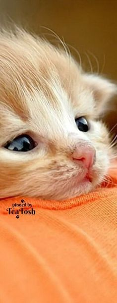 Cats are the most common house they are very and creatures. Cute Funny Animals, Cute Baby Animals, Animals And Pets, Cute Cats, Funny Cats, Pretty Cats, Beautiful Cats, Animals Beautiful, Kittens And Puppies