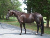 Black 2010 filly that is a real show stopper!! Thre strong gaits with a fantastic temperament. Professionally trained and going solid walk, trot and canter. Talent for a big future! $35,000