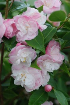 Camellia hybrid 'Sweet Jane' (Australia, 1987) - tolerates for full sun, flowers fr 3 months over winter and early spring