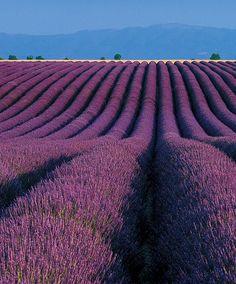 La Provence et ses Champs de Lavande