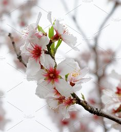 Cherry Blossom Photos Beauty Pink and White Cheery Blossoms closeup on Blurred Cherry Tree and Cloudy Sky background by zhekos Blossom Trees, Cherry Blossom, Blossoms, Cherry Tree, Photoshoot, Sky, Plants, Pink, Beauty