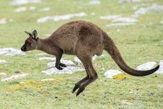"""Képtalálat a következőre: """"kenguru ugrása"""""""