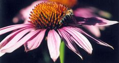 """Indiánské slunce, červená slunečnice… To jsou lidové názvy pro třapatku nachovou – bylinku, kterou nejspíš znáte pod názvem """"echinacea"""". Její léčivé účinky využívaly staré indiánské kultury. Odvarem z této rostliny léčili indiáni rány, bodnutí hmyzem i hadí uštknutí. Při bolestech zubů žvýkali kořen a listy. V polovině 19. století si jí všimli i evropští lékaři. Ti začali používat tinktury z této byliny na léčbu kašle, žaludečních potíží a k čištění krve po otravách. A to ještě nevěděli o… Plants, Planters, Plant, Planting"""