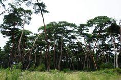 경주 삼릉 소나무숲