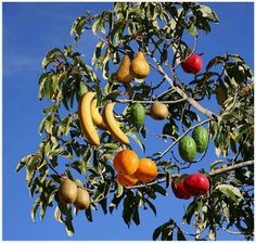 Fruit Salad tree - A tree which can grow a variety of different fruits on it. Fruit salad tree sprouts as many as 7 varieties of frui.Multi Fruit Cocktail Tree, multiple fruit, one treeThere exists a tree called fruit salad tree that can grow up to s Different Fruits, Variety Of Fruits, Fruit Cocktail Tree, Fruit Salad Tree, Organic Gardening, Gardening Tips, Grafting Fruit Trees, Fruit Hampers, Tree Photography