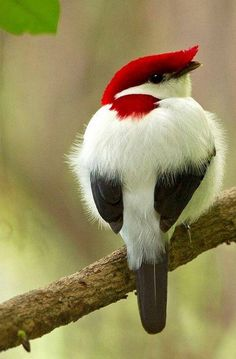 Araripe Manakin (Antilophia bokermanni) - a critically endangered bird from the family of manakins (Pipridae). It was discovered in 1996 and scientifically described in 1998. The species epithet commemorates Brazilian zoologist and wildlife filmmaker Werner Bokermann, who died in 1995.